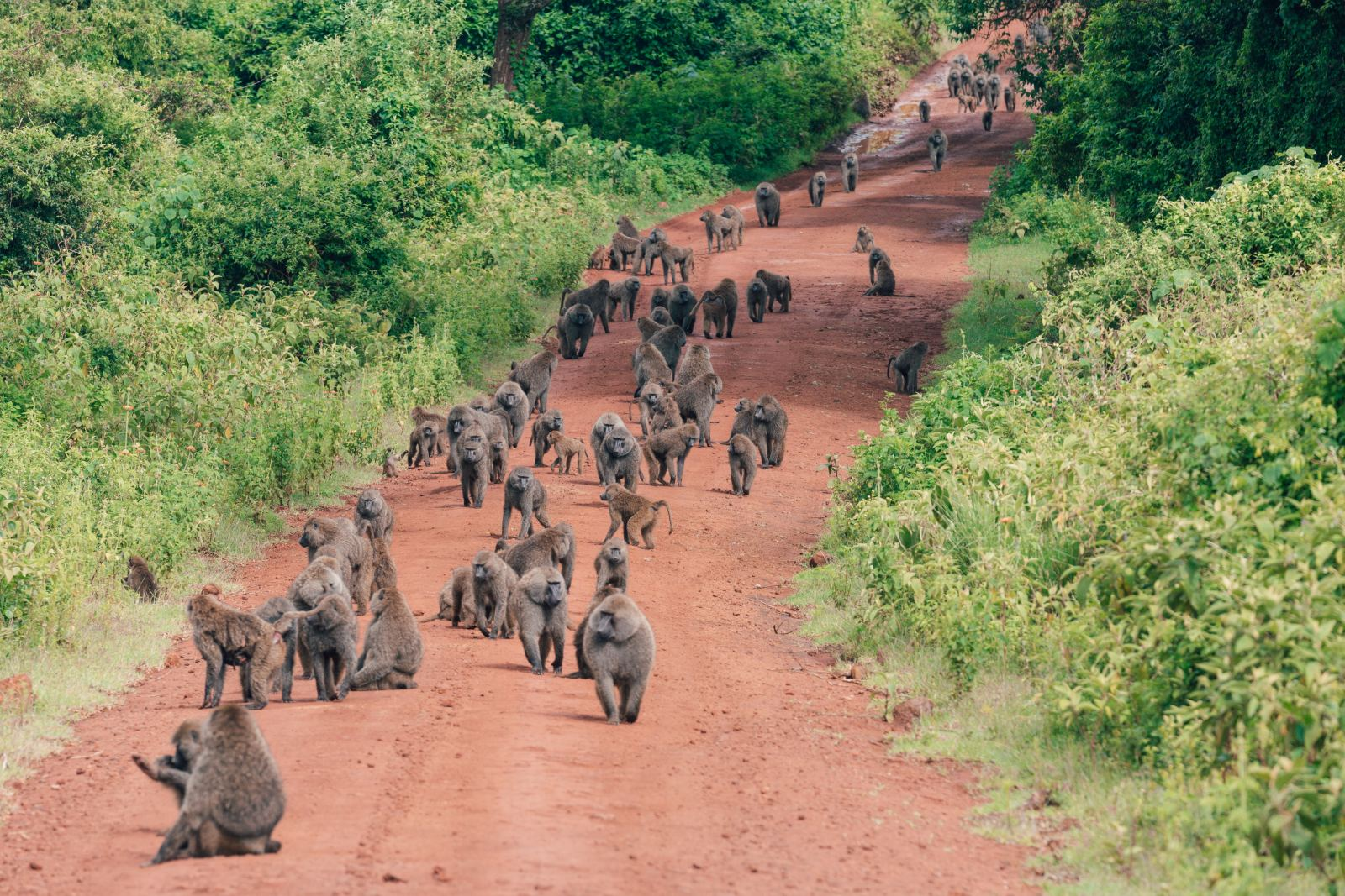 Tanzania Baboons blocking the road